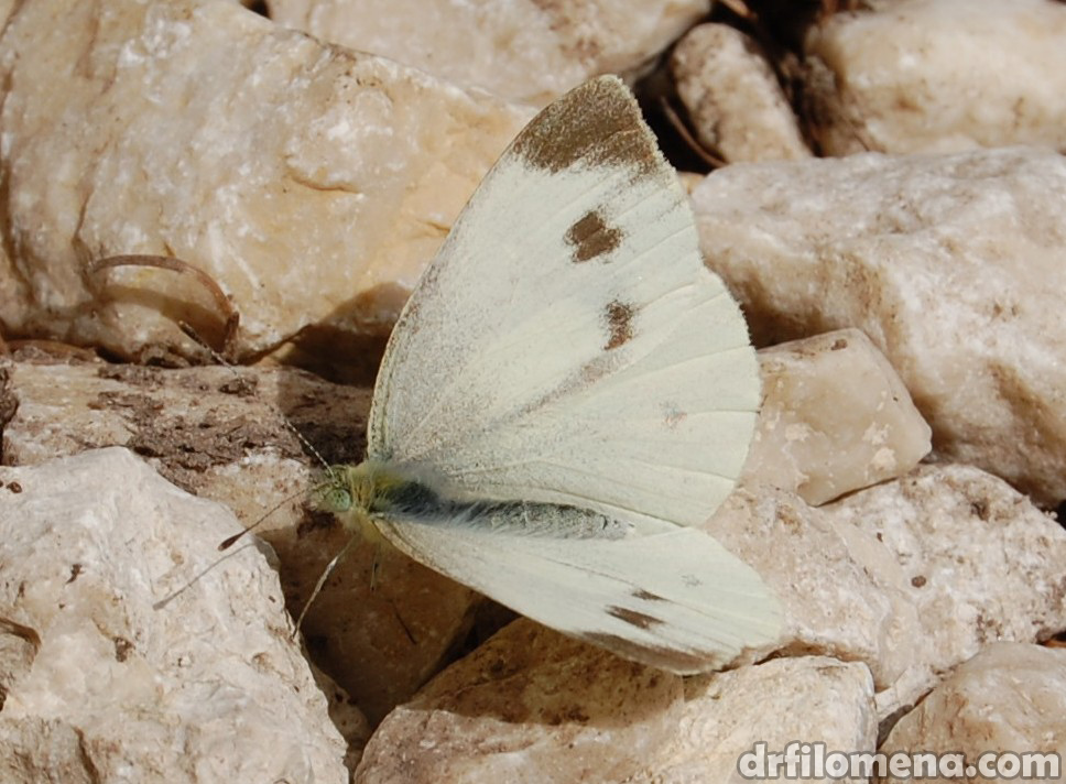 Butterfly on Mt. Triglav