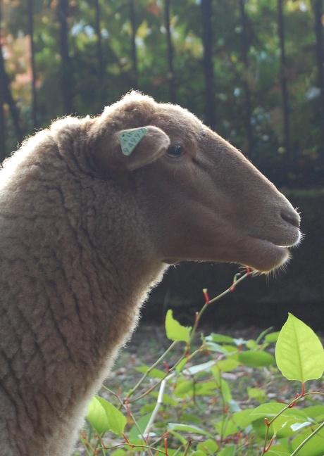 luksemburška ovca pod kirchbergom