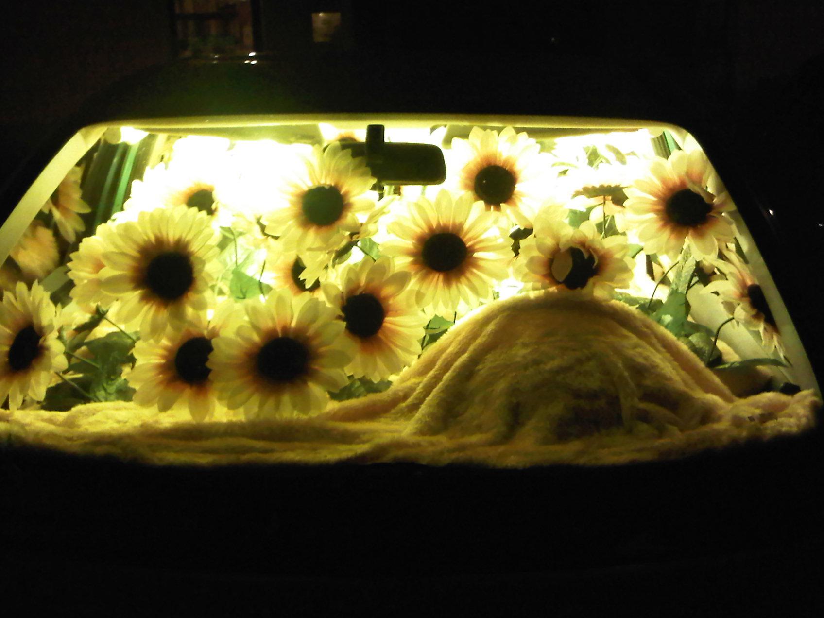 Sunflowers Need the Sun