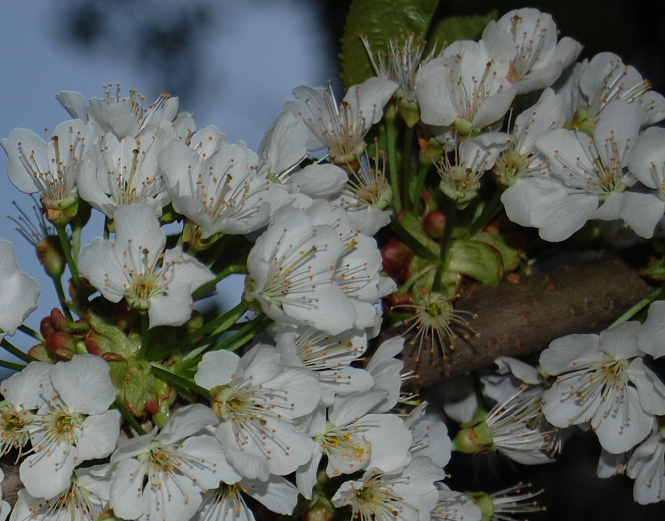 cherry blossoms on šmarna gora